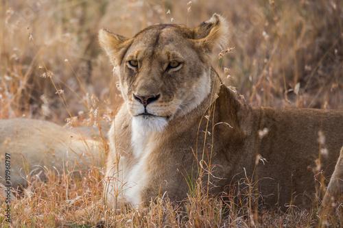 Fotobehang Lion Löwin beim Ausruhen (Panthera leo)