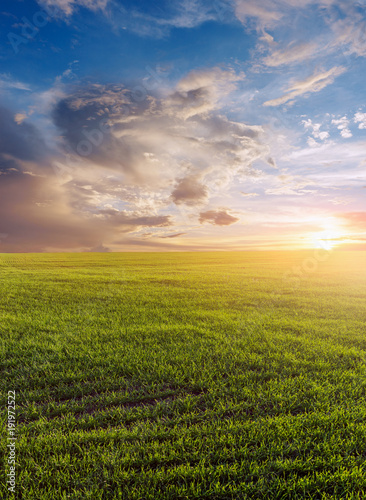 Foto op Aluminium Honing Green field of winter wheat, blue sky and sunset.