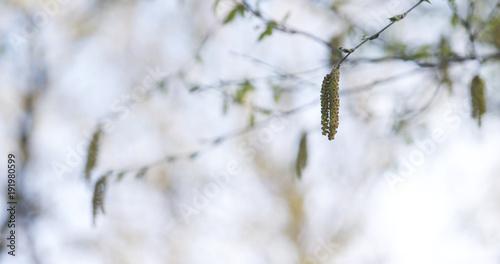 Papiers peints Bosquet de bouleaux birch earrings in spring day