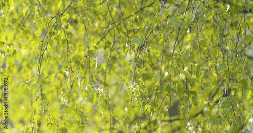 Plexiglas Berkenbos birch leaves in spring day