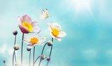 Colorful floral spring background. White and pink anemones flowers and fluttering butterfly against the blue sky, macro, free space for text. - 191981701