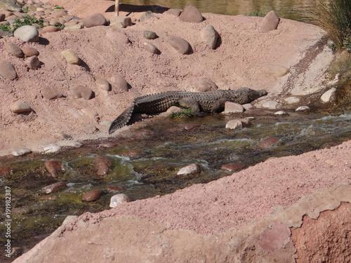 Fotobehang Zalm crocodil