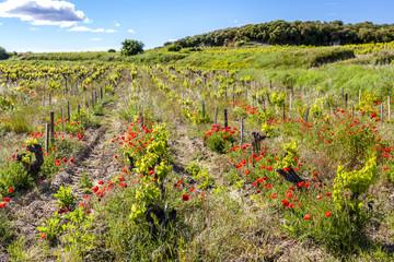 vineyards near Chateauneuf-du-Pape, France