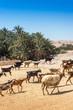 Quadro Livestock near Tamaqzah in Tozeur, Tunisia.