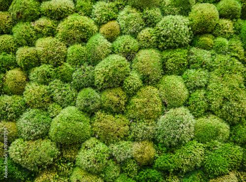 muschio verde per pareti