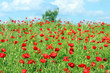 meadow with poppies flowers landscape spring season