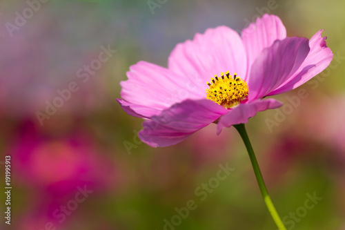 Foto op Canvas Heelal Closeup Cosmos pink flower in the garden and the morning sunshine. Copy space for text.
