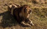lions rest to arid savannah - 192003351