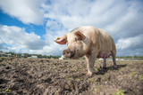 Pig on an organic farm in the uk - 192006166