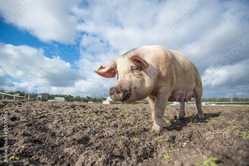 Aluminium Neushoorn Pig on an organic farm in the uk