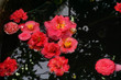 red Camellia flowers in a pond