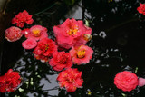 red Camellia flowers in a pond - 192015509
