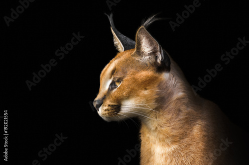 Beautiful caracal lynx over black background Poster