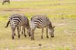 Zebra grazing in the savannah of Amboseli Park in Kenya