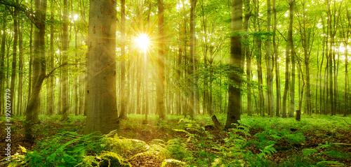 Foto Murales Sonne strahlt durch naturnahen Buchenwald, Farn bedeckt den Waldboden