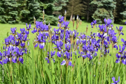 Aluminium Iris Group of blue Siberian Iris flowering in a garden