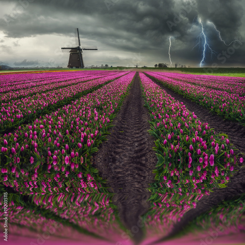 Fotobehang Tulpen Traditional Dutch Field of Tulips