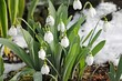 canvas print picture - Schneeglöckchen im Frühling