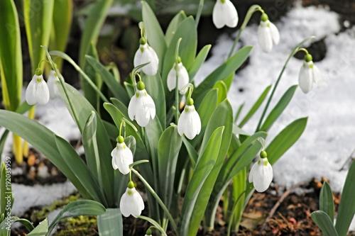 canvas print picture Schneeglöckchen im Frühling