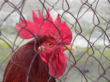 Portrait of a cock behind a metal mesh. Colorful red rooster on a farm - 192038309