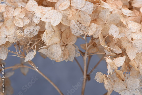 Fotobehang Hydrangea Hortensia dried flowers close-up