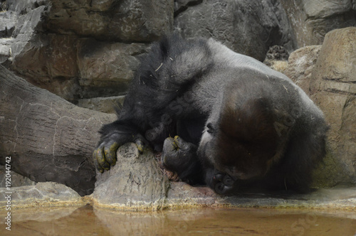 Foto Murales Gorilla drinking water