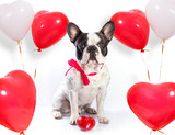 Cute french bulldog with heart shape balloons for valentines - 192046198