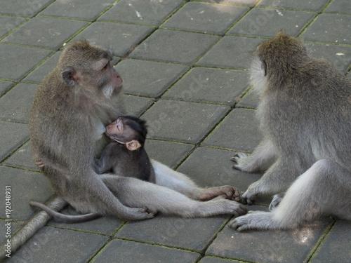 In de dag Bali Monkey Family