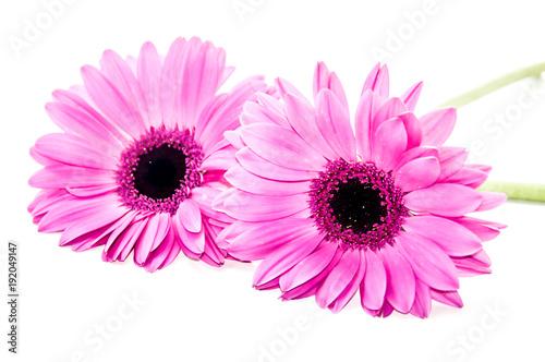 Plexiglas Gerbera Flor color rosa margarita