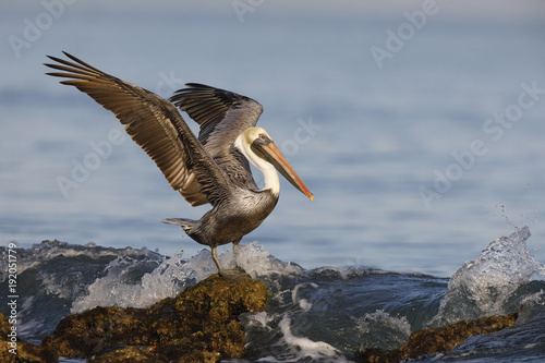 Brown Pelican using its wings for balance as a wave crashes over its rock - Venice, Florida