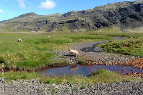 Fotobehang Bergrivier Islandia - owca nad rzeką w górskiej dolinie