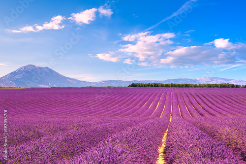 Aluminium Lavendel Lavender flowers blooming fields. Valensole Provence, France