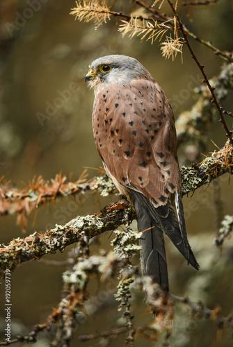 Eurasian Kestrel - Falco tinnunculus, beautiful raptor from European forest.