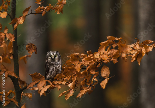 Tengmalm's Owl in autumn leaves