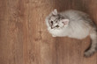 One fluffy cat playing on wooden floor
