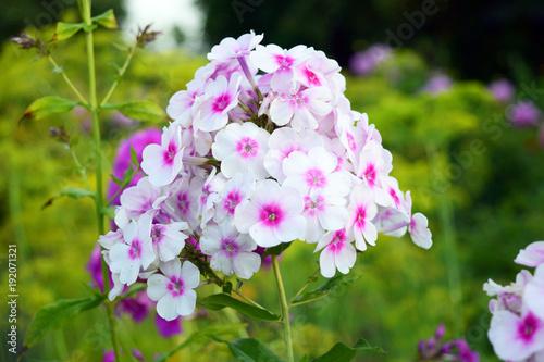 Piękne biało-różowe kwiaty