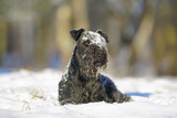 Blue Lakeland Terrier dog lying outdoors on a snow in winter forest