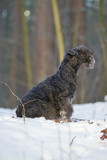 Obedient blue Lakeland Terrier dog sitting outdoors on a snow in winter forest