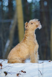 Obedient red Lakeland Terrier dog sitting outdoors on a snow in winter forest