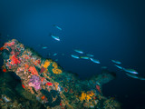 School of tropical fish in ship wreck with corals and blue water