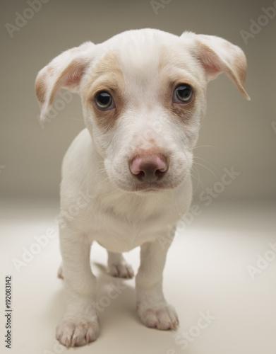 White labardor puppy on tan background