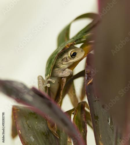 Fotobehang Kameleon Cuban tree frog tucked in a leaf