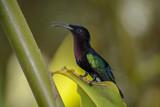 Colibri de Martinique - 192104376