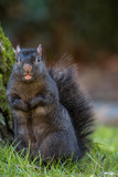 squirrel Stick out its tongue and make a funny appearance - 192105557