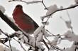 Pine Grosbeak in snow