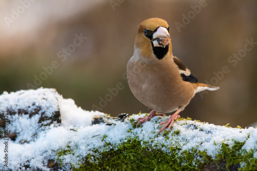 Wildlife photo - hawfinch on old trunk with snow and moss in Danubian wetlands, Slovakia forest, Europe