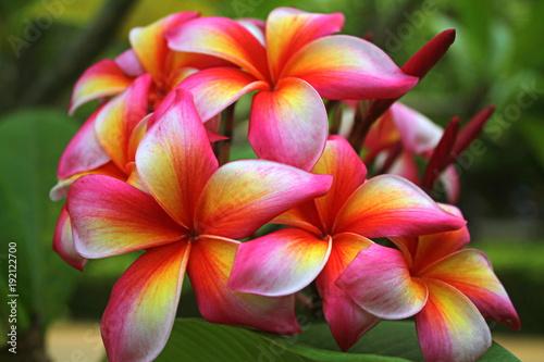 egzotyczny-frangipani,-kwiat,-zielone-tlo
