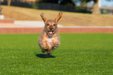 A fun dachshund running happily in the sunshine