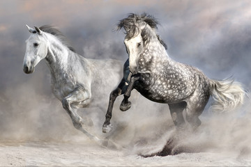 Two white andalusian horse run in desert dust