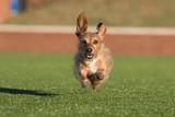 A red dachshund joyously running in the summer sun